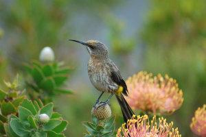 honingvogel Kaap de Goede Hoop