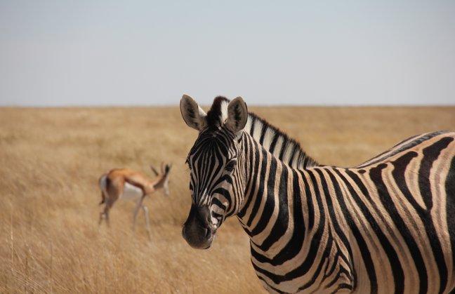 Zebra met springbok