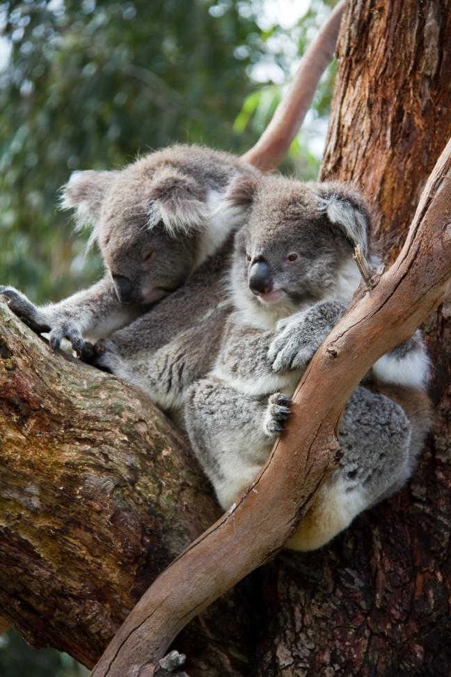 Koala-duo