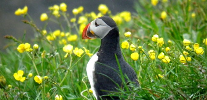 papegaaiduiker;borgarfjördur eystri; oost ijsland