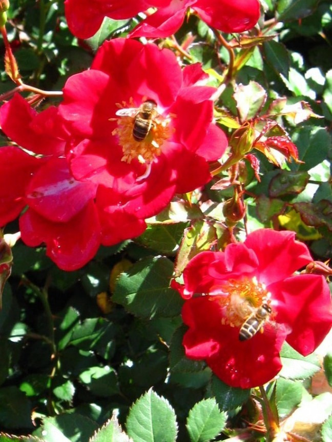 ook de bijen vinden de geur van rozen heerlijk