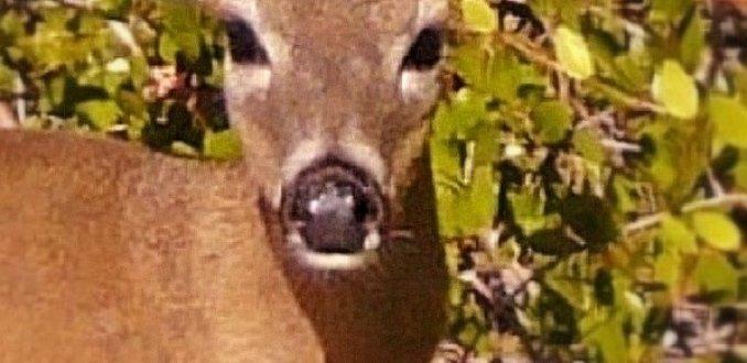 Key deer op deer Key