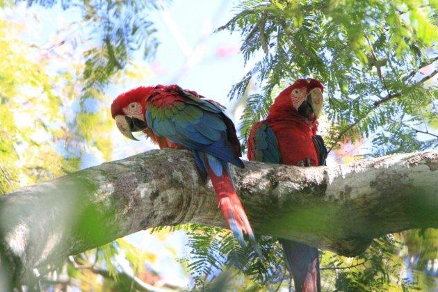 schitterende kleuren van deze macaw in de pantanal
