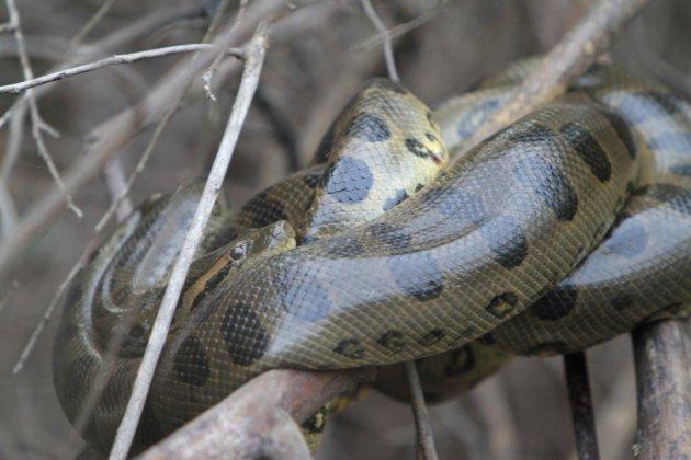 Anaconda in de Pantanal