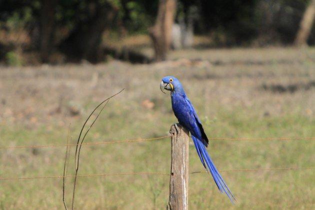 de zeldzame Hyacint Macaw in de pantanal