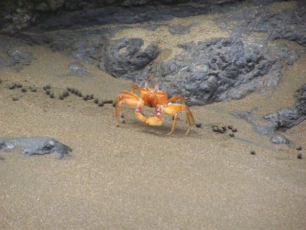 Krabbetje op het strand