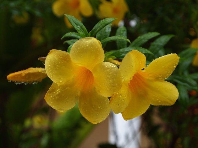 Tropische, natgeregende bloem