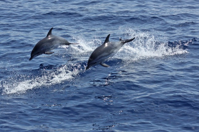 Dolfijnen bij Azoren