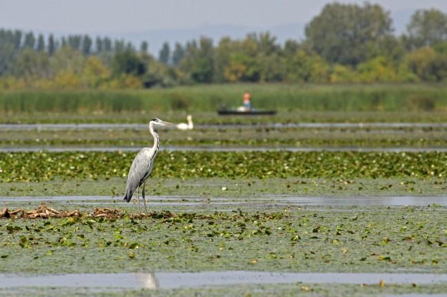 Reiger op het Tiszameer