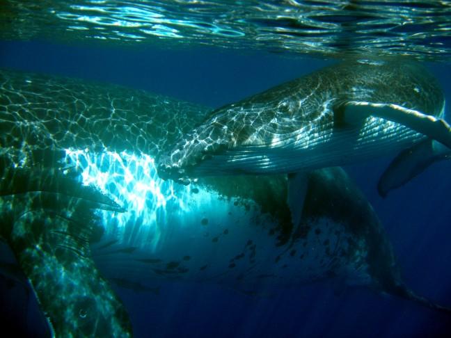 Bultrugwalvissen in Vava'u