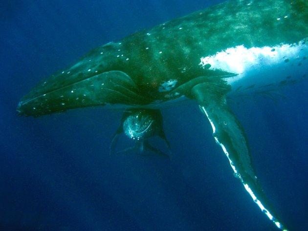 Walvissen in Tonga
