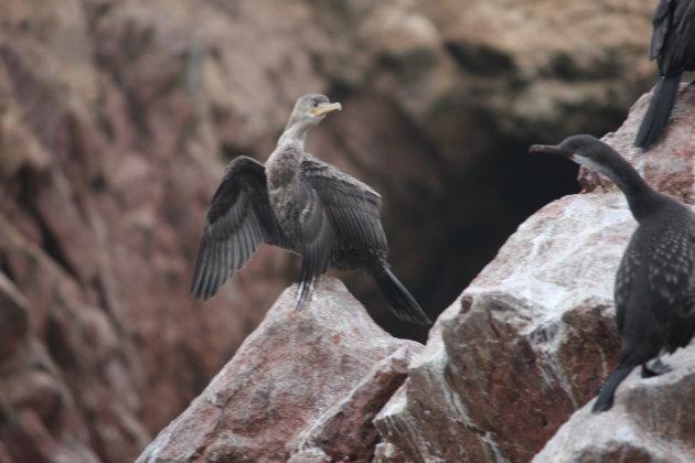 Een van de vogelsoorten die te zien zijn bij Ballestas eilanden