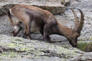 Aosta Steenbok