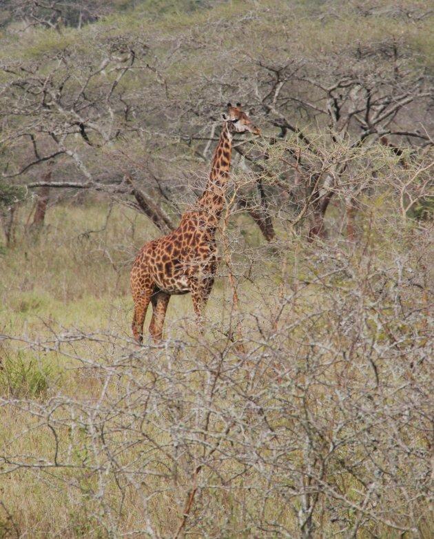 Rotschild giraf
