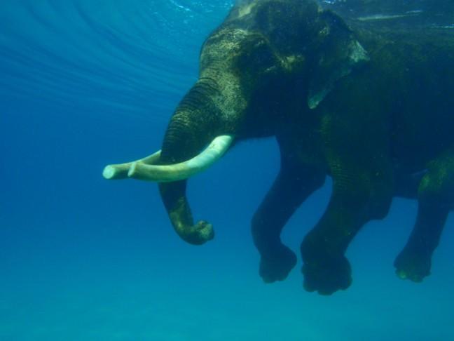 Zwemmende olifant in de Bengalese zee