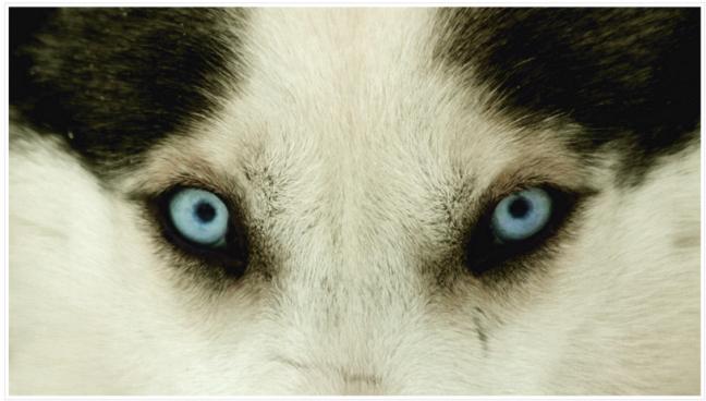 Husky's hypnose