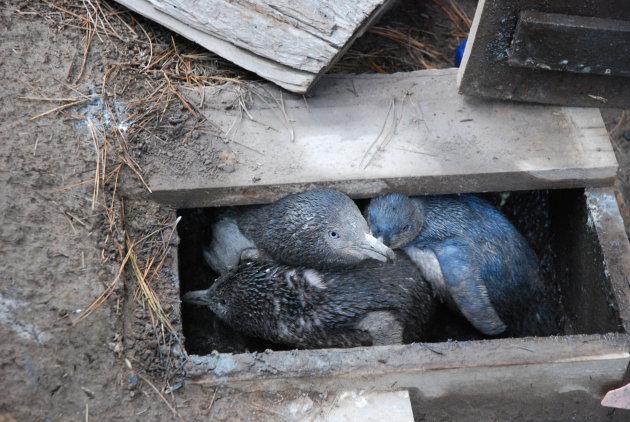 jonge white flippered pinguins in hun nestkast
