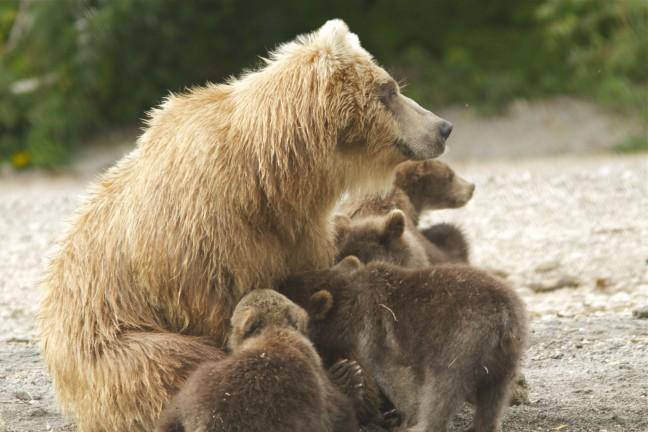 Moeder beer in kamtsjatka met jongen