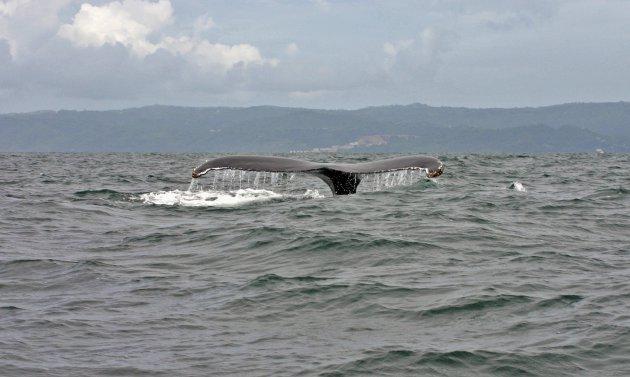 Walvis safari in baai van Samana