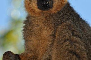 Bruine Lemur