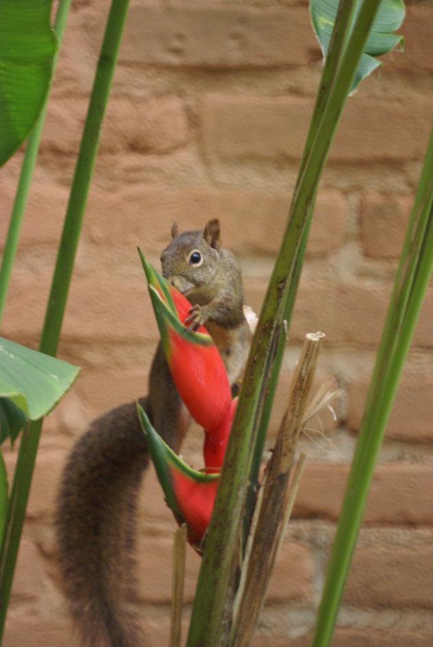 eekhoorn drinkt uit bloemkelk