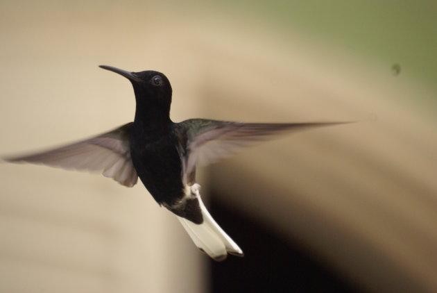 colibrie close up wit