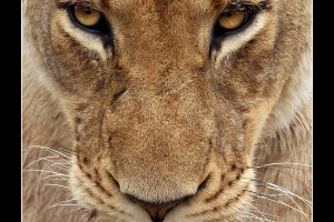 Eye of the Lioness