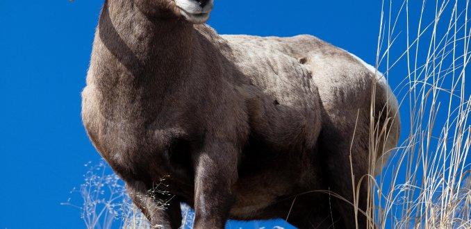 Big Horn Sheep (steenbok)