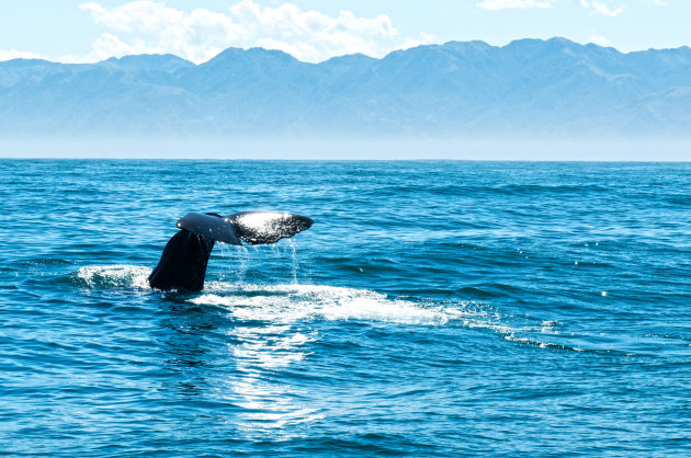 Duikende Spermwhale