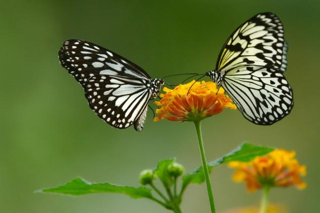 vlinders in belgie
