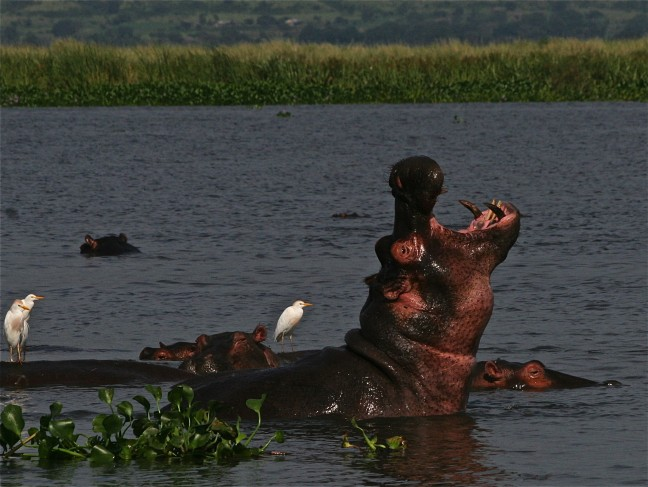 nijlpaard in het wild