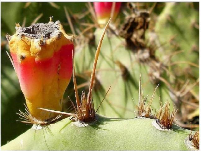 cactusvrucht