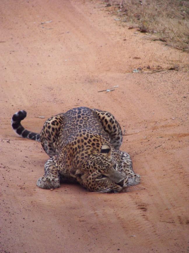 Wild luipaard op de weg