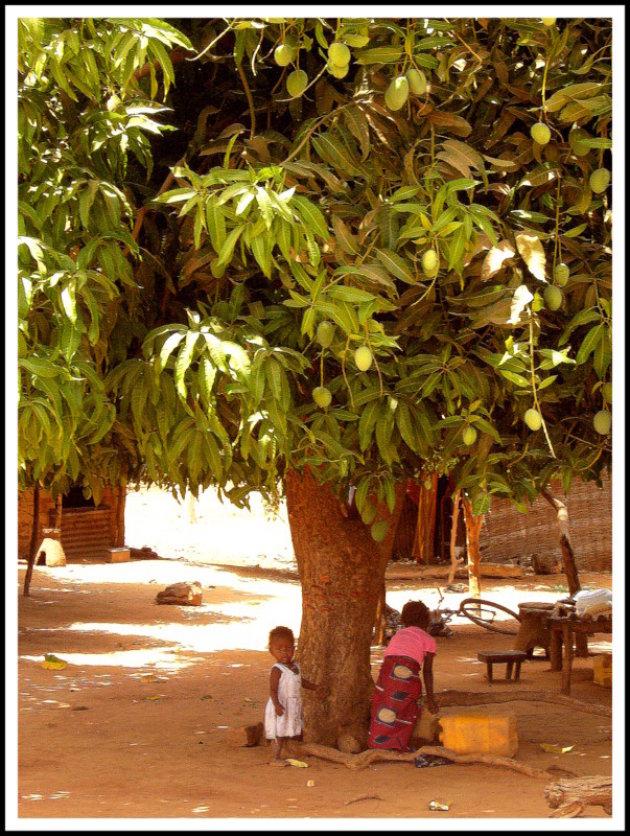 onder de mangoboom