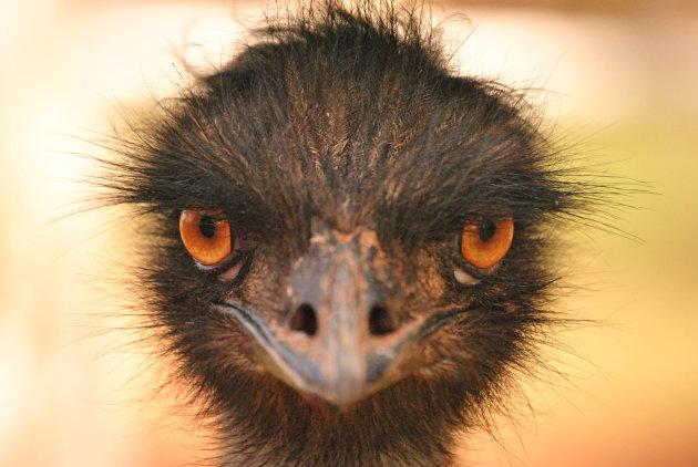 Een emoe kijkt recht in de camera