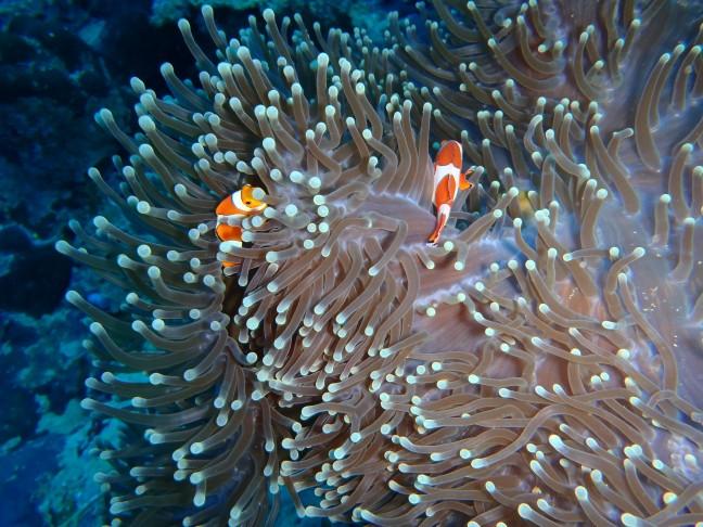 Clownfish in Egypte