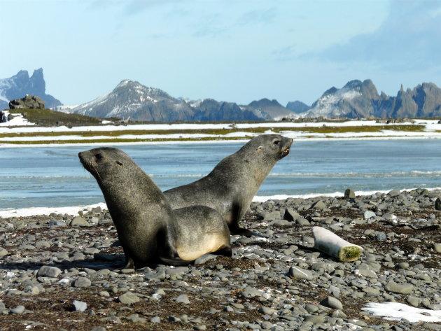 700.ste * Fur seals