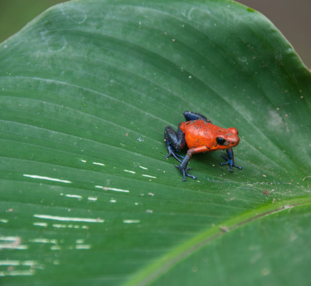 Blue Jeans Poison Arrow Dart Frog