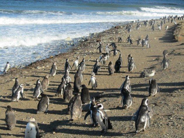 Pinguin eiland Isla Magdalena