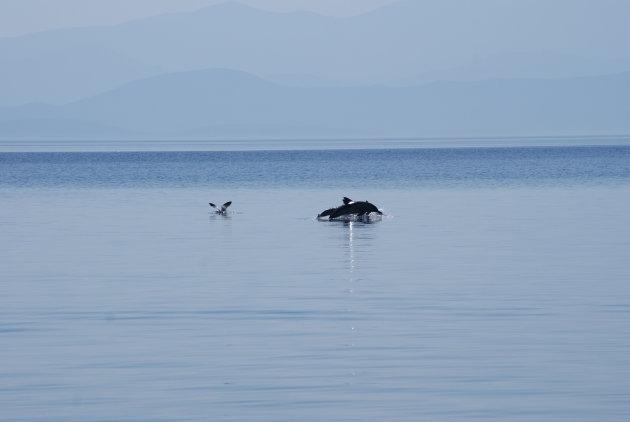 Dolfijnen in Afissos, Pilion, Griekenland