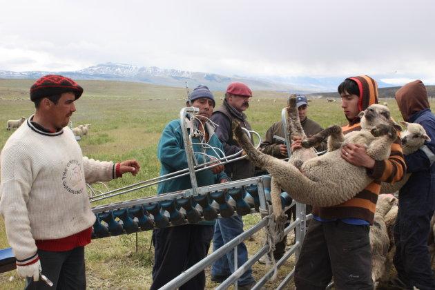 Het merken van schapen in Chili in de buurt van NP Torres del Paine.