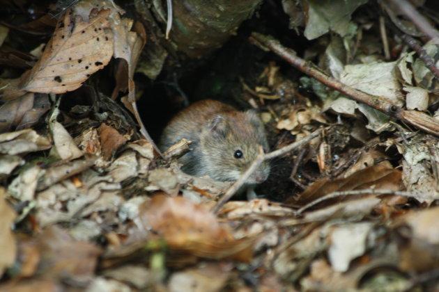 Micky mouse in Kroatie.