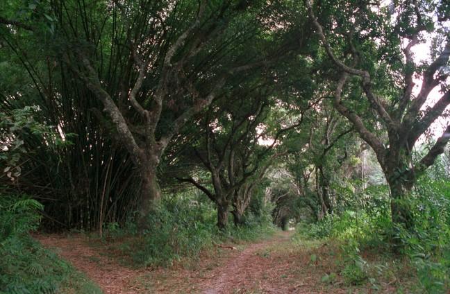 Mangolaan in Gabon