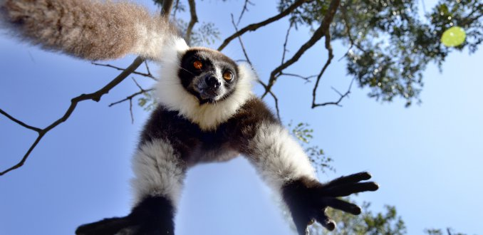 Black and White ruffed lemur hangend in en boom