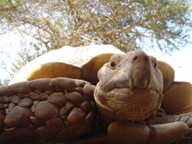 Nieuwsgierige schildpad