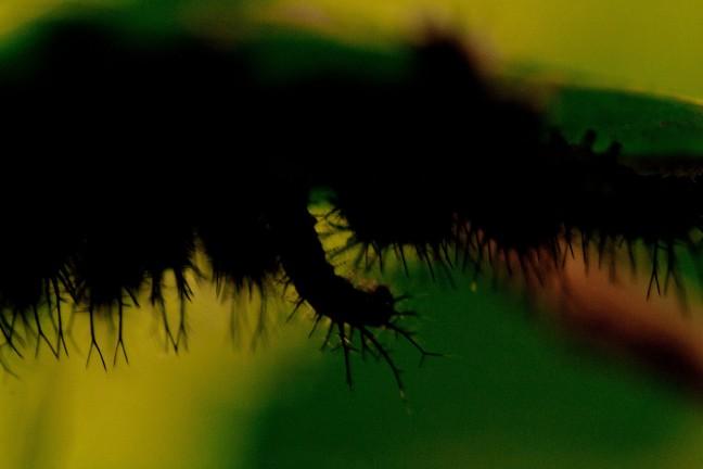 enekel rupsen aan de onderkant van een blad
