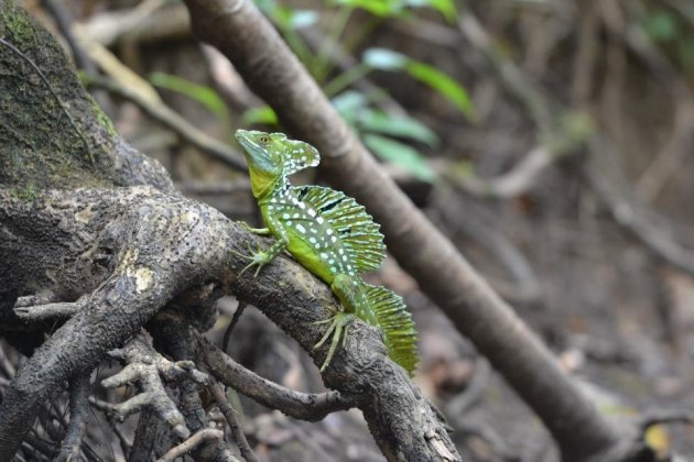 Jezus Christus hagedis - wildlife reservaat Los Guatuzos - Nicaragua