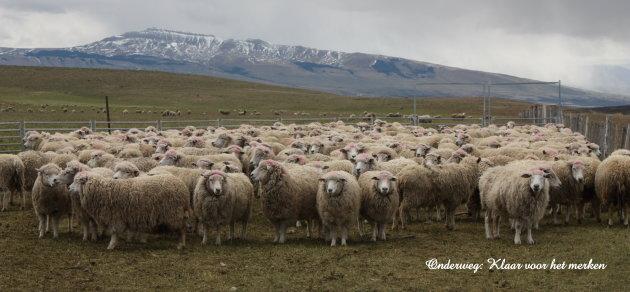 Schapen inenten in Chili op weg nar Torres del Paine.