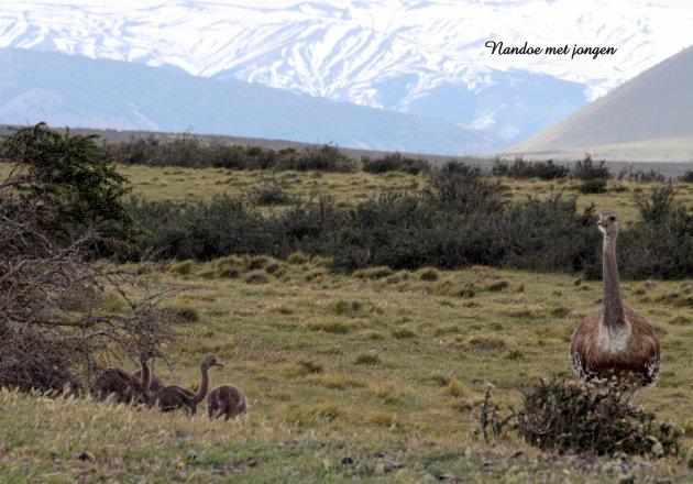 Nandu met jongen in NP Torres del Paine, Chili.