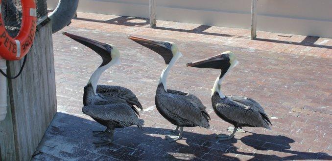 Pelikanen in St. Petersburg Florida